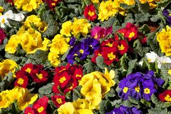 Colored primula plants Royalty Free Stock Image