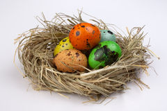 Colored quail easter eggs in nest  isolated on white  background Stock Image