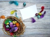 Colored colored quail eggs, with colorful feathers on white wooden background, happy Easter concept.  royalty free stock image