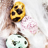Colored Quail Eggs with white feathers macro. HQ photo of quail Stock Images