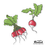 Colored radish in sketch style Royalty Free Stock Photo