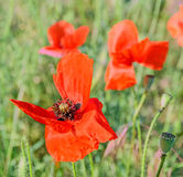 Colored Red Poppy flowers on green field, close uproses flowers in a vibrant colored vase. Stock Images