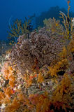 Colored Reef, Indian Ocean, Maldives. Ree with red soft coral, Indian Ocean, Maldives Stock Photography