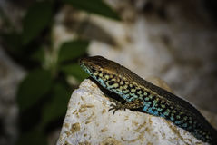 Colored reptile Royalty Free Stock Images