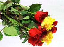 Colored rose Stock Photography