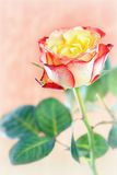 Colored roses Royalty Free Stock Photo