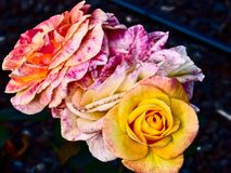 Colored Roses at Parnell Rose Garden, Auckland, New Zealand stock photo