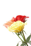 Colored roses Royalty Free Stock Images