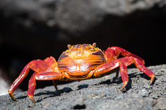 Colored Sally Lightfoot Crab Stock Image