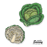 Colored savoy in sketch style Royalty Free Stock Image
