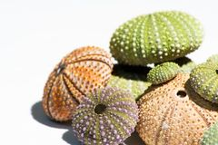 Colored Sea-Urchin's shells Stock Photo