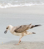 Colored Seagull bird on a sand beach Royalty Free Stock Photo