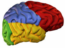 Colored sections human brain Stock Photo