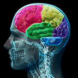 Colored sections of a male human brain. X ray concept. Part of a medical series Royalty Free Stock Image