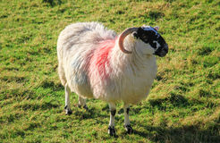 Colored Sheep in Northern Ireland Royalty Free Stock Image
