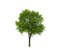 Colored Silhouette Tree Isolated on White Stock Images