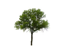 Colored Silhouette Tree Isolated on White Stock Photography