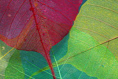 Colored skeleton of leaf Stock Images