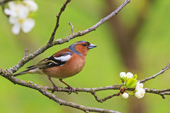 Colored songbird sitting on a branch of flowers. Forest birds and wildlife Stock Image