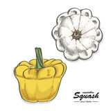 Colored squash in sketch style Stock Photos