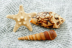 Colored Starfish and Scallop on Fishing Net Royalty Free Stock Image