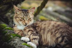 A colored tabby cat with an arrogant gaze rests on an old roof covered with moss stock image