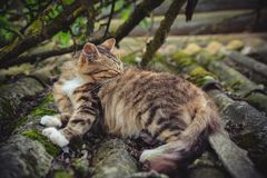 A colored tabby cat licks its fur on an old roof covered with moss royalty free stock image