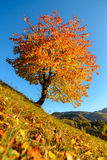 Colored Tree on Blue Sky. Yellow and orange colored tree on a steep hill with blue sky as background stock images