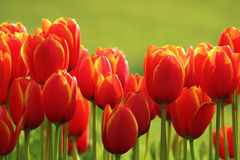 Colored Tulip I Stock Photography