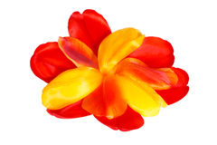 Colored tulip petals in the shape of a flower Stock Images