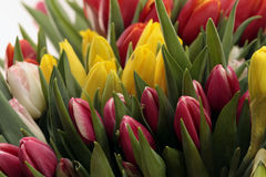 Colored Tulips. Lovely colored tulips as a sweet gift Royalty Free Stock Photos