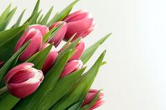 Colored Tulips. Beautiful pink tulip flowers isolated on white background Royalty Free Stock Image