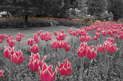 Colored Tulips Royalty Free Stock Image