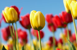 Colored tulips Royalty Free Stock Photo