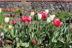 Colored tulips on a field in a garden stock photography