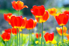 Colored tulips on a flowerbed. In spring Royalty Free Stock Photos