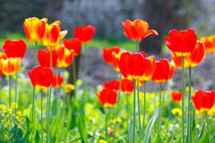 Colored tulips on a flowerbed. In spring Royalty Free Stock Images