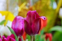 Colored tulips a spring sunny day stock images