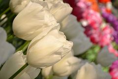 Colored Tulips Stock Images