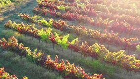 Colored vines in a vineyard in autumn. Aerial view.
