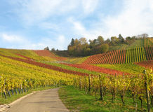 Colored vineyard fields in autumn Royalty Free Stock Photo