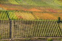 Colored vineyards on the Moselle. Colored vineyards  near Reil on the Moselle in Germany Royalty Free Stock Photography