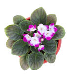 Colored violet in a pot. Top view Royalty Free Stock Photos