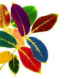 Colored walnut leaves Stock Photo