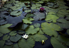 Colored water lily in a pond Stock Image