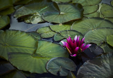 Colored water lily in a pond Royalty Free Stock Photography