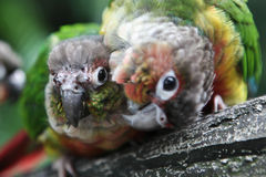 Colored wavy parrot. Parrots art kissing Royalty Free Stock Image