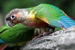 Colored wavy parrot. Parrots art kissing Stock Photos