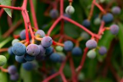 COLORED WILD BERRIES. Close up on colored wild berries Stock Photography