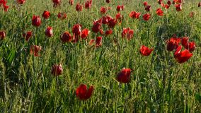 Colored wild tulips in a green field. Multiple colored wild tulips in a green field stock video footage